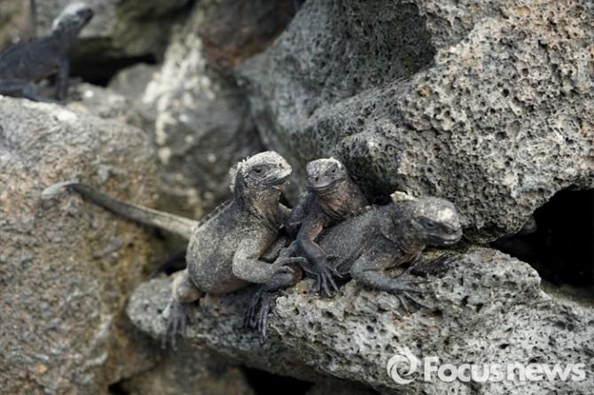 바다이구아나는 갈라파고스 제도에서만 발견 된다. 도마뱀 중 유일하게 바다에서 위장하고, 생존할 수 있는 능력을 가진 바다 파충류이다 - <사진제공=전수경> 2016.03.15 포커스포토 photo@focus.kr  제공
